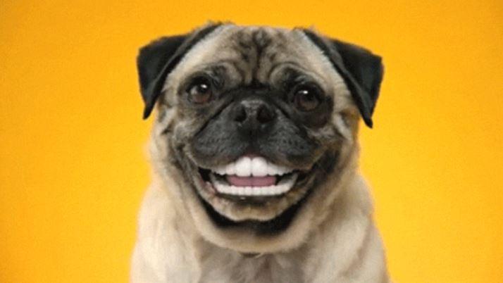 pug-dog-smile